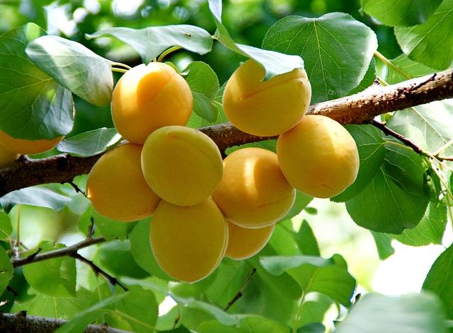 meruňky na větvi