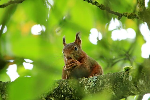 veverka s ořechem